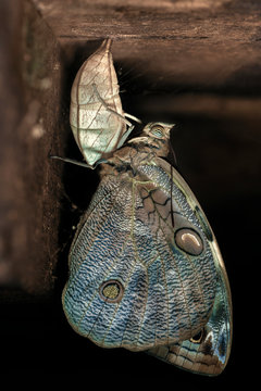 Owl butterfly and cocoon