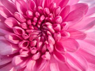 Printed kitchen splashbacks Dahlia a beautiful close up pink dahlia