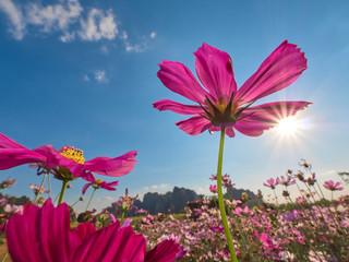 Fond de hotte en verre imprimé Univers a beautiful cosmos flower in the blue sky