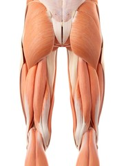 Leg and buttock muscles