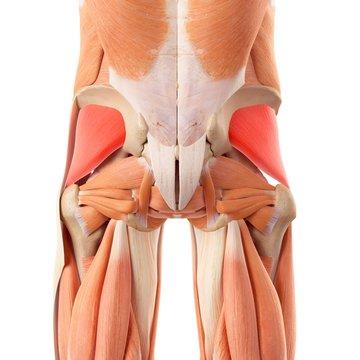 Human buttock muscles