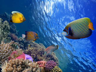 Red Sea coral reef with hard coral and Emperor Angelfish