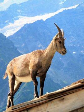 Ibex on halet roof