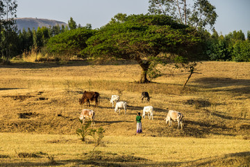 Canvas Prints Honey Brahman or Zebu bulls near the Blue Nile falls, Tis-Isat in Ethiopia