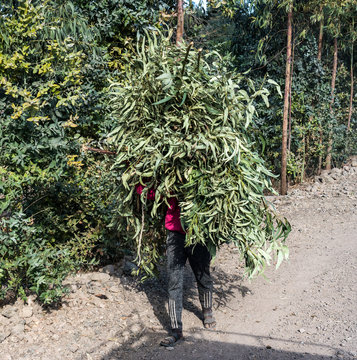 An local farmer carrying home harvested sorghum in Ethiopia, Africa