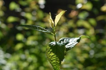 Macro de hojas verdes de una planta de jardín silvestre, iluminadas por los rayos del sol.