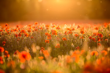Foto op Canvas Poppy Poppy field at sunset.Selective focus
