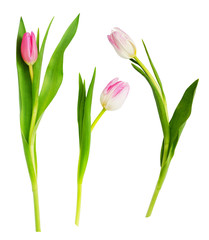 Foto op Plexiglas Tulp Set of pink and white tulip flowers