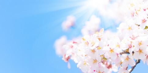 Foto op Canvas Kersenbloesem 桜の木々と太陽
