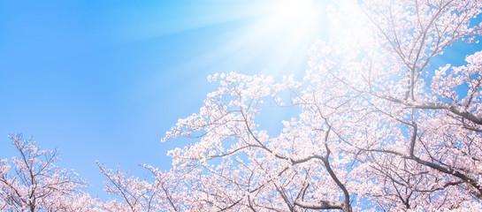 Tuinposter Kersenbloesem 桜の木々と太陽