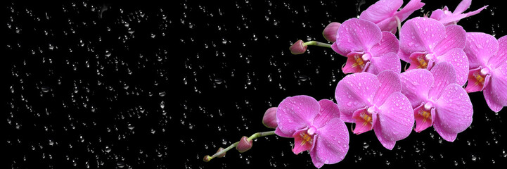 Fotorolgordijn Orchidee pink orchid with drop long