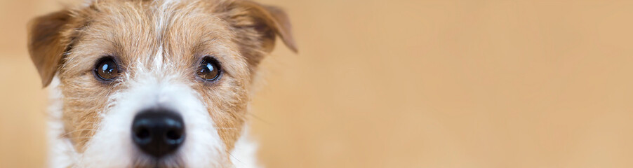 Spoed Fotobehang Hond Web banner of a beautiful cute obedient jack russell terrier pet dog face, close-up