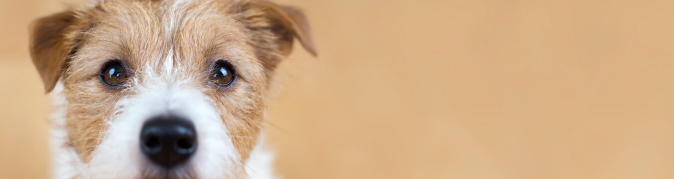 Web banner of a beautiful cute obedient jack russell terrier pet dog face, close-up