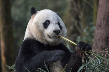 Wall Mural - Cute Panda Bear Eating Bamboo, Bifengxia Panda Reserve in Ya'an Sichuan Province, China. Panda