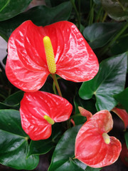 Wall Mural - Beautiful red Anthurium in the garden