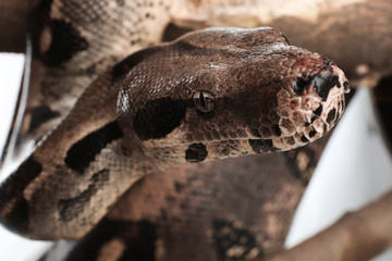 Brown boa constrictor on tree branch outdoors, closeup