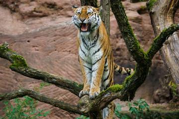 Wall Mural - Closeup of a siberian tiger roaring in a tree