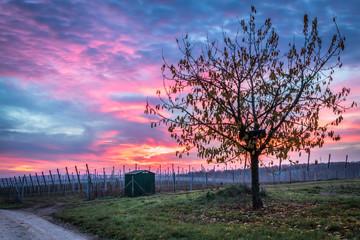 Obstanbau in Rheinhessen im Sonnenaufgang