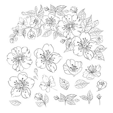 Set of sakura flowers elements. Collection of blooming prunus flowers on a white background. Vector illustration.