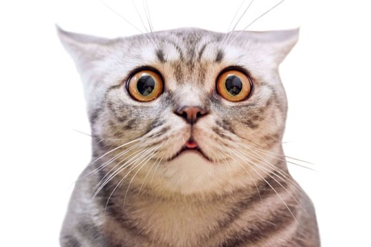 Young crazy surprised cat make big eyes closeup. American shorthair surprised cat or kitten isolated funny face. Cute tabby cat looking surprised scared. Emotional surprised wide eyed kitten portrait