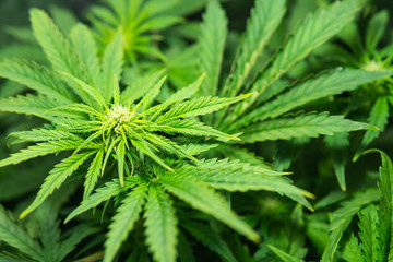 The concept of indoor marijuana. Indoor grow weed cultivation. Cannabis growing in the grow tent. THC and CBD in pot. Growing cannabis. Weed for recreational purposes.