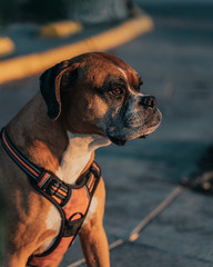 Calm boxer dog in harness spending time strolling in urban street at sunset looking away