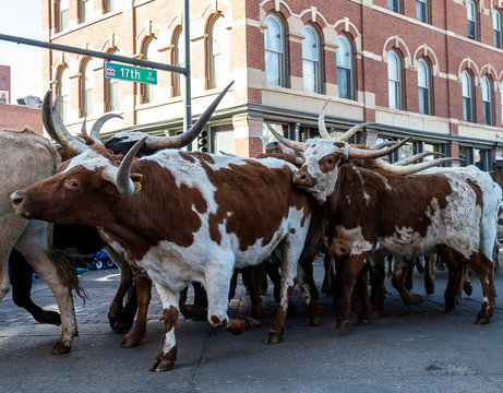 Denver, Colorado, January 9, 2020: Annual National Western Stock Show Kick-Off Parade travels up 17 Street