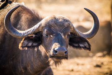 Fototapeten Buffel Kruger National Park, South Africa- JULY 2019: African buffalo (Syncerus caffer) in Africa called the Black Death