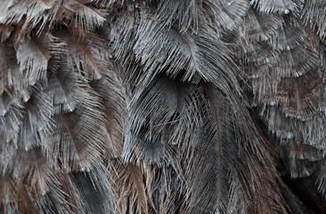 Poster Struisvogel ostrich feathers on ostrich close background