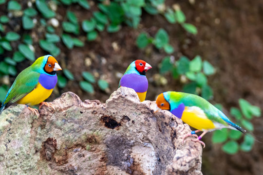 Gouldian finch - the Lady Gouldian finch, Gould's finch or the rainbow finch
