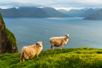 Morning view on the summer Faroe islands with two sheeps on a foreground. Kalsoy island, Denmark. Landscape photography
