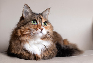 Domestic Long Hair Cat. Close-up of a red cat looking at the camera. A beautiful old cat with green, intelligent eyes. The cat's coat is tricolored