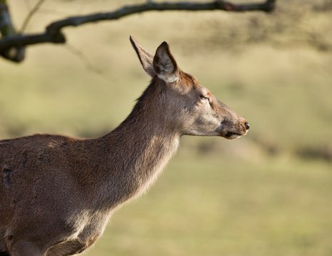profile foto of female deer