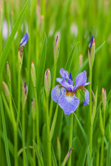 Deurstickers Iris iris flowers in the garden