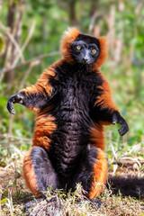 Red ruffed lemur standing in front of camera (Varecia rubra), Andasibe reserve, Madagascar