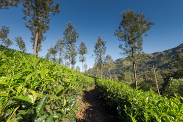 Scenic view over tea plantation near Munnar in Kerala, South India on sunny day