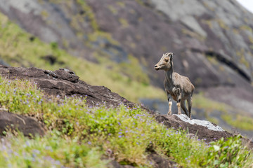 Nilgiri tahr mountain goat standing on rock in Eravikulam National Park  in Kerala, South India on sunny day