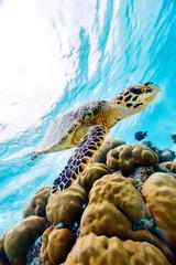 Papiers peints Tortue Hawksbill sea turtle