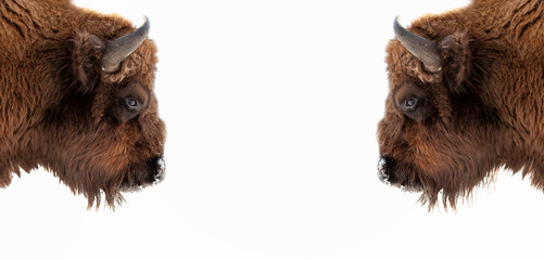 Fotorolgordijn Bison Two brown bull or bison heads with brown horns opposite each other before a fight on the New York Wall Street Stock Exchange on a white banner. Wyoming State Symbol.