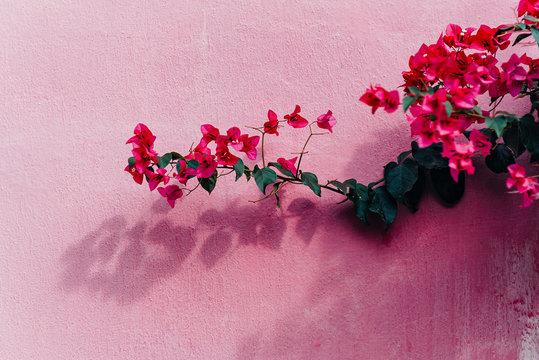 Blooming magenta bougainvillea flowers. Bougainvillea flowers as a background. floral background over pink wall..