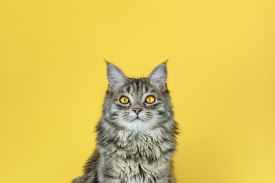 Portrait of a cat with a camera look in front of a yellow background
