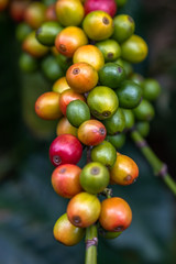 Branch of Coffee Beans. Close up of colorful coffee beans on the tree. Only the deep reds are ready to picked up by hand. Photo taken in a Farm located in Guatemala.