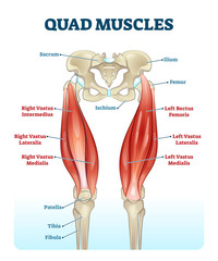 Quad leg muscles anatomy labeled diagram, vector illustration fitness poster
