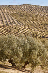 Olive tree fields in Andalusia. Spanish agricultural landscape. Jaen