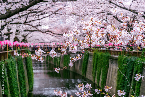 Wall mural Cherry blossom rows along the Meguro river in Tokyo, Japan