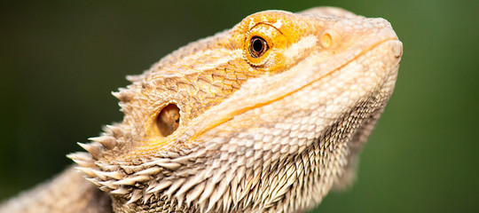 Pogonas are a genus of reptiles containing eight lizard species which are often known by the common name bearded dragons.