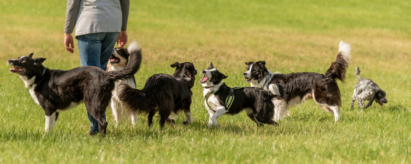 Walk with many obedient dogs without a leash in the nature. Border Collies