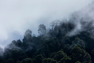 Fotobehang Canarische Eilanden Fog in Canary Island pine forest, El Paso Municipality, La Palma island, Canary Islands, Spain, Europe