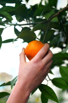Picking oranges in the orchard