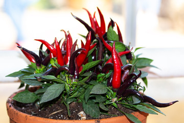 Canvas Prints Hot chili peppers Hot chili peppers in a pot. Beautiful fresh home-grown vegetable, organic red burgundy purple chili pepper